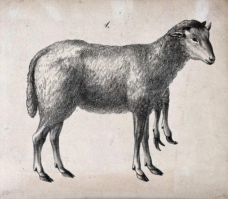 Mouton à cinq pattes?
