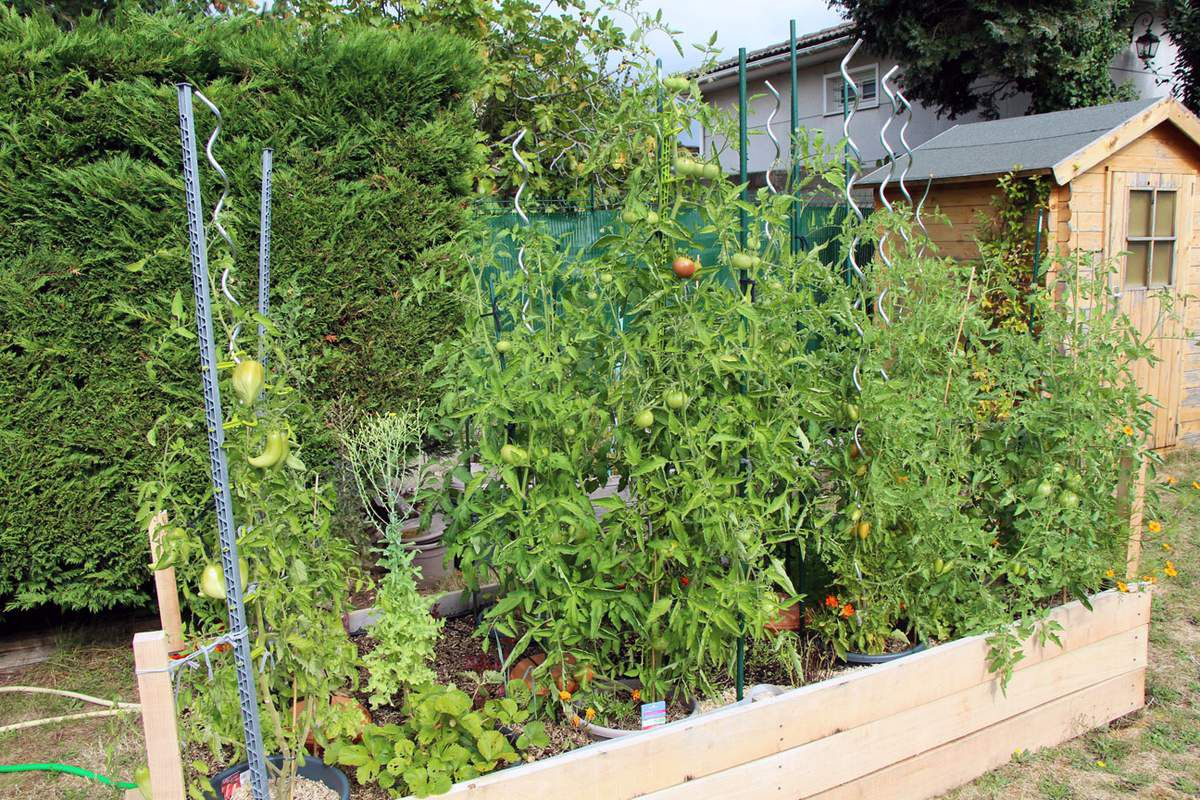 Les courgettes qui végétaient dans leur pot ont quintuplé en taille. Les tomates ont fini par occuper tout l'espace disponible, ne laissant plus guère d'espace aux plantes plus basses, ce qui était prévisible.
