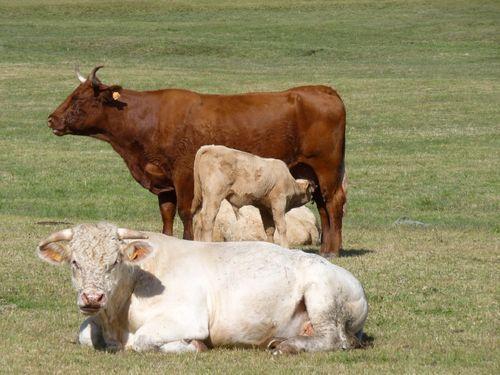 Des vaches et des taureaux s'élèvent contre l'utilisation de l'expression mettre bas