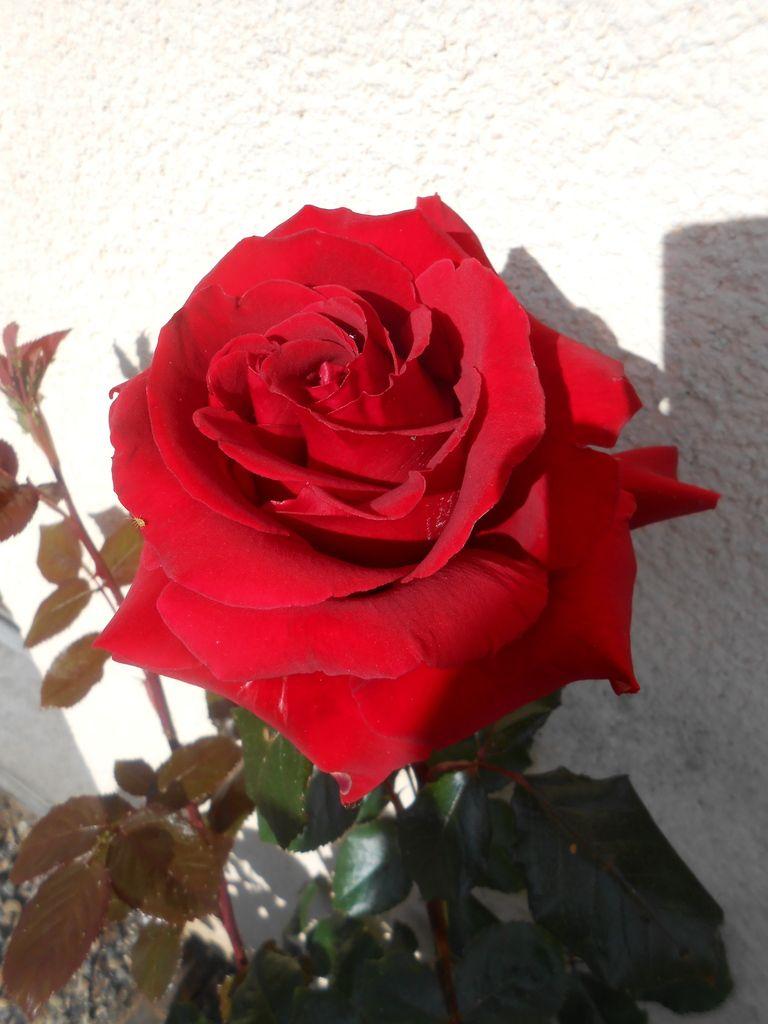 C'était le temps des roses