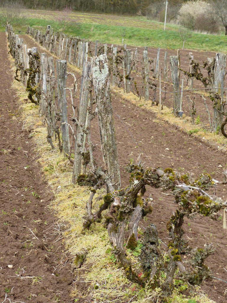 La vigne aujourd'hui à Ray:1 à 5  parcelle vers l'Eglise. 6 à 8  parcelle, vignes Sainte Anne.9 Terrain Raymond LIARD.