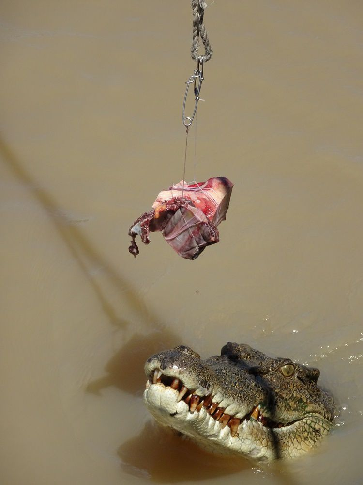 Jumper crocodiles