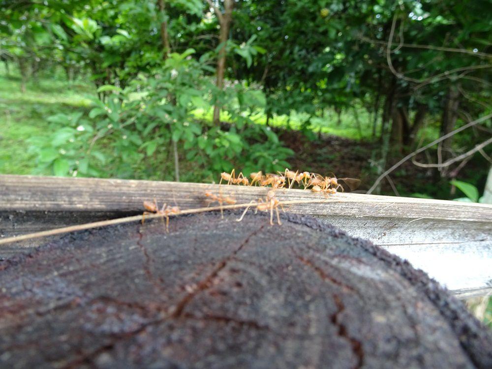 Les fameuses fourmis rouges au goût citronné d'après Loup et Diego