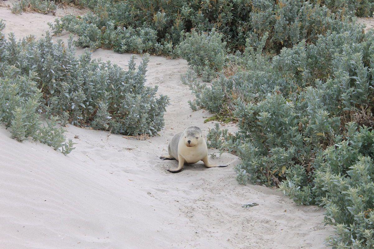 Safari sur Kangaroo Island