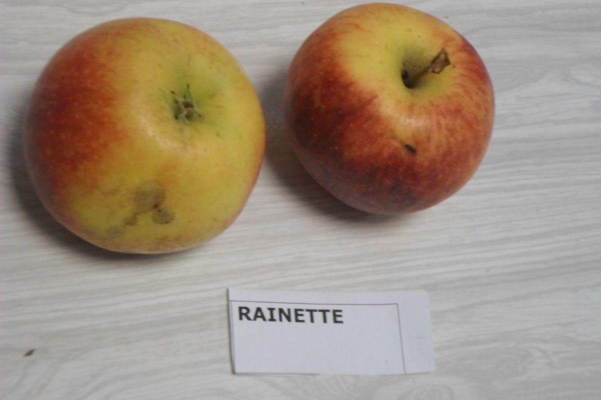 Dégustation de pommes et notation de celles-ci.