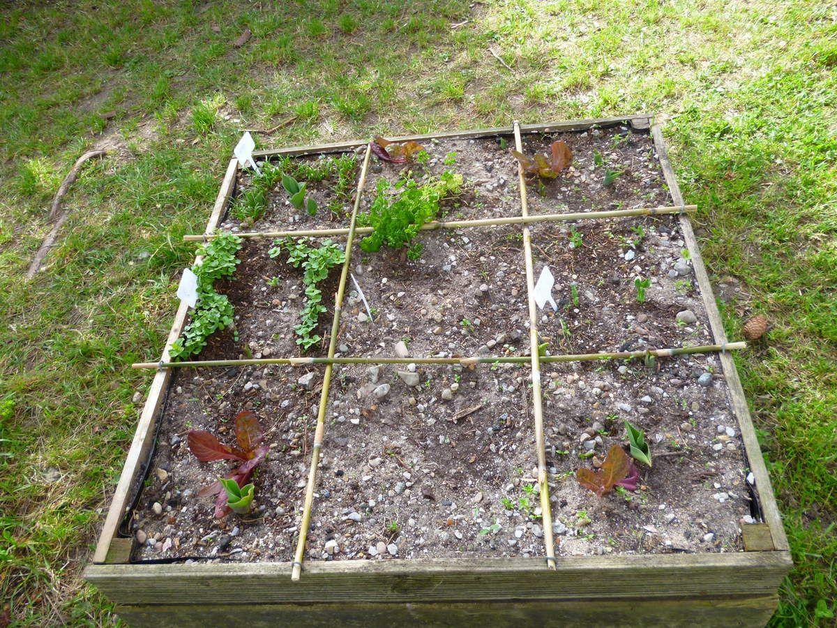 Dehors les graines lèvent lentement car il fait moins chaud.Les salades n'aiment pas le froid.  Avant de partir en vacances, nous avons transplanté nos plantations dehors dans nos bacs pour qu'elles profitent du plein air.