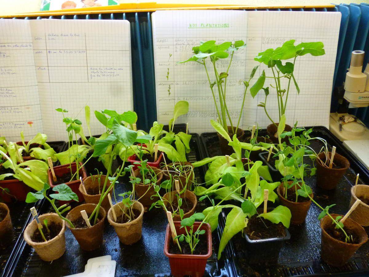 Dans la classe, les plantes se développent rapidement, elles poussent en hauteur et sont très fragiles.Les salades ne se développent pas.Chaque jour il faut : observer, mesurer, noter......