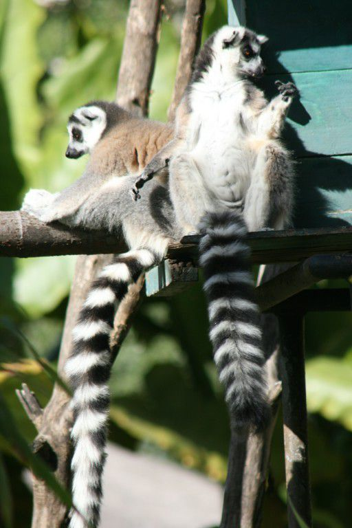 Maki catta (Lemur catta)