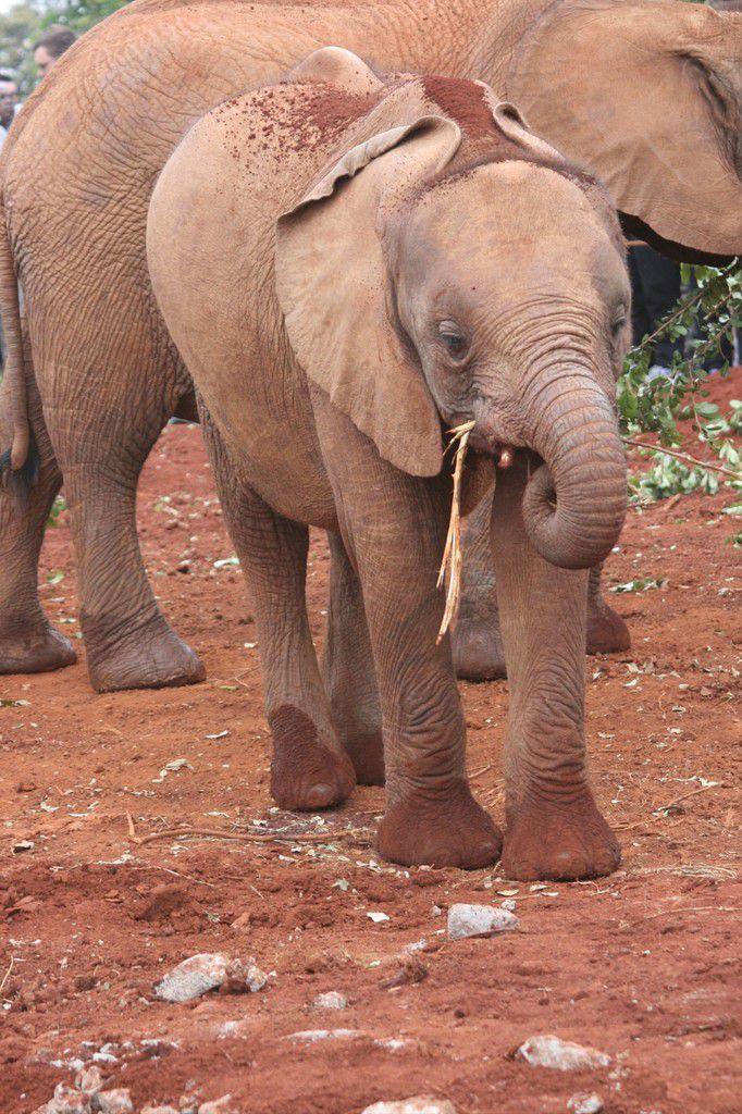Des jeunes éléphantaux à l'orphelinat d'éléphant.