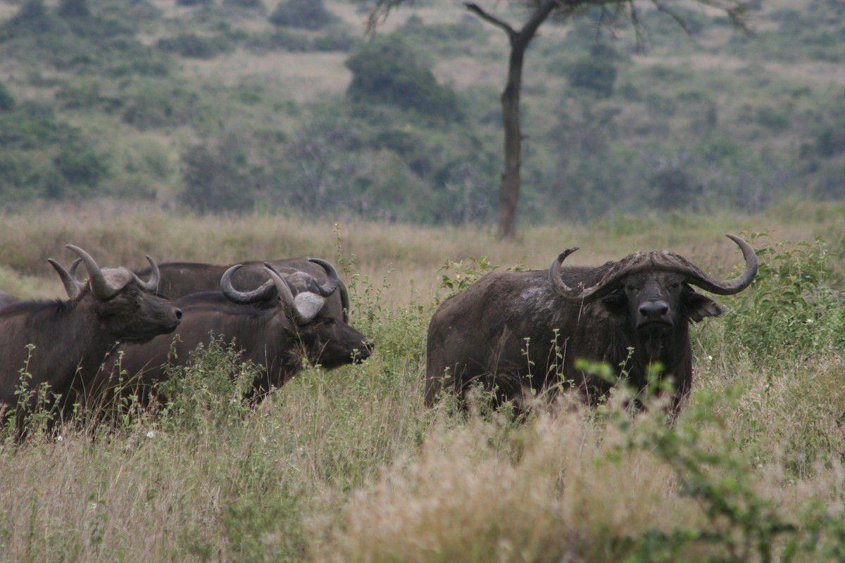 Des buffalos, un rien imposant !