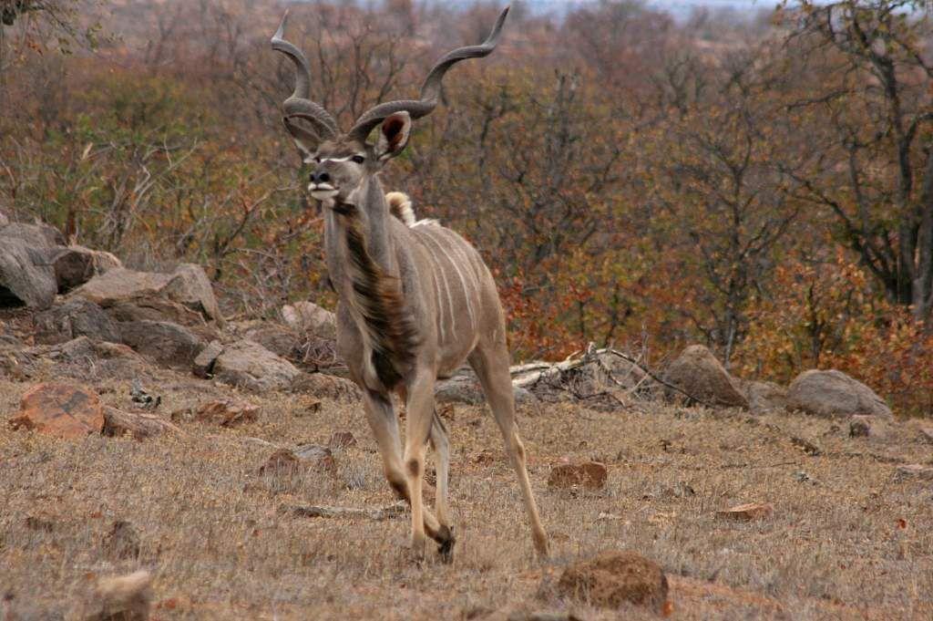 &quot&#x3B;The Kuger national Park&quot&#x3B;, l'un des joyaux de l'Afrique du sud...