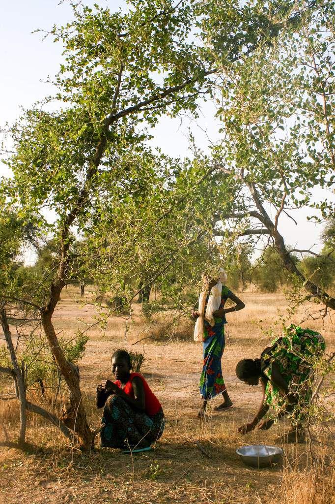 Sur la route des jeunes filles ramassent des Jujubes, une variété du désert très épineuse et à petits fruits.