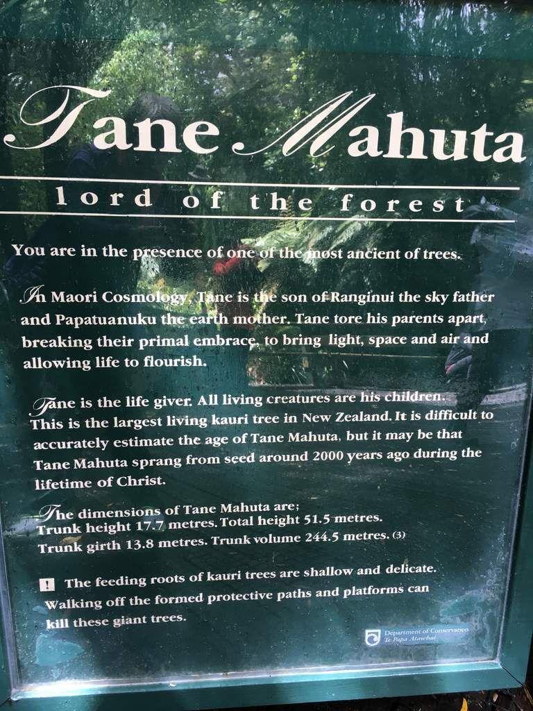 le KAURI magnifique arbre trop exploité par le passé.