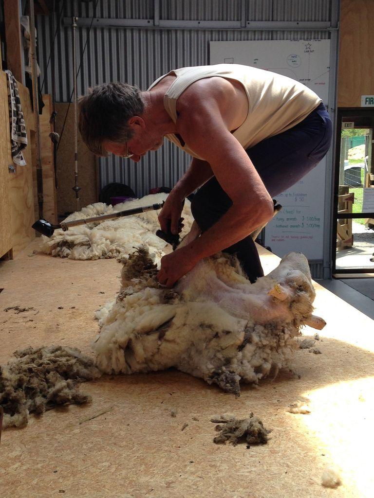 La tonte est faite avec soin et précision. Les moutons sont partout en Nouvelle-Zélande.