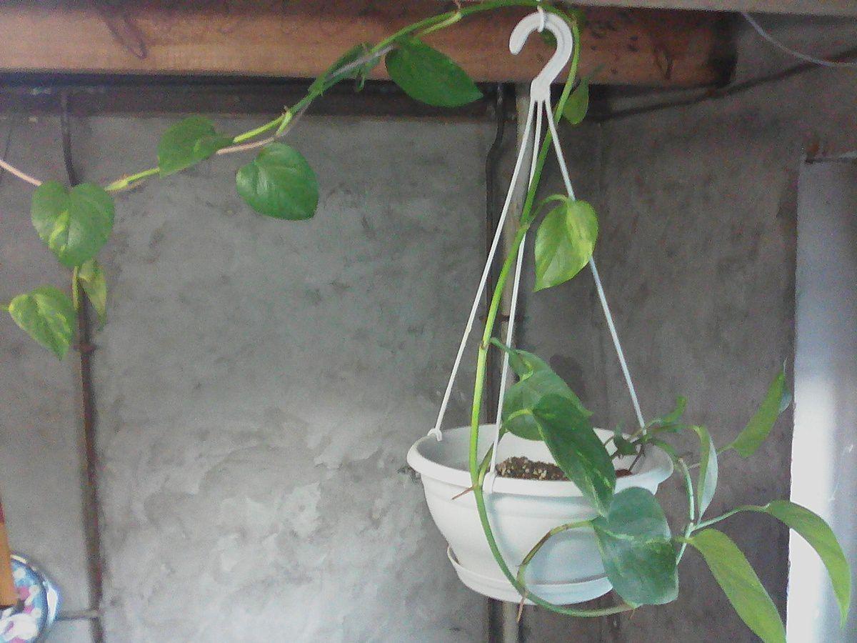 Plante grimpante
