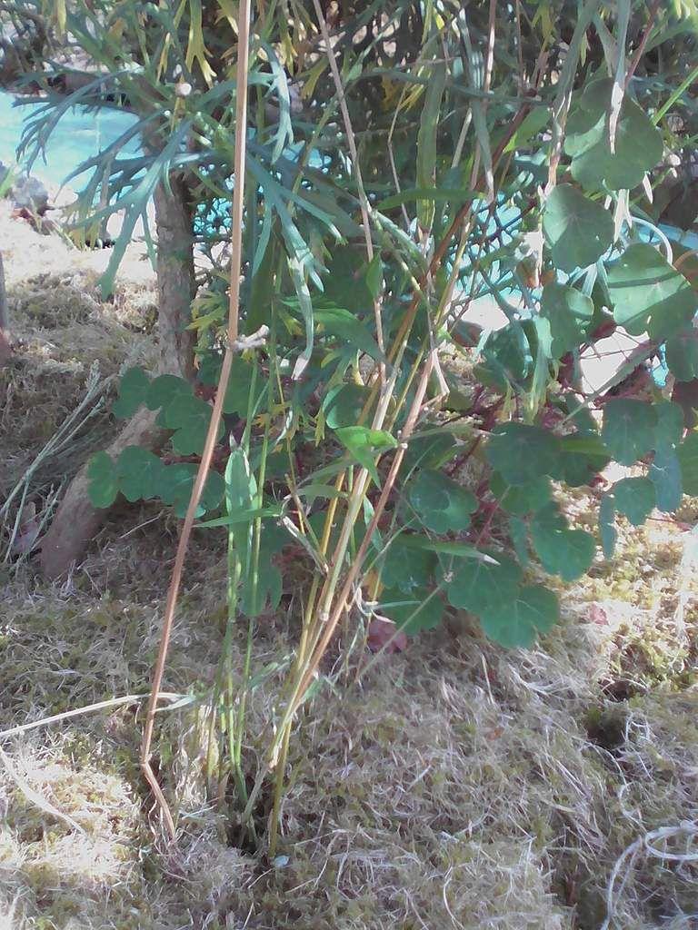 Bambous d'Asie Grimpant