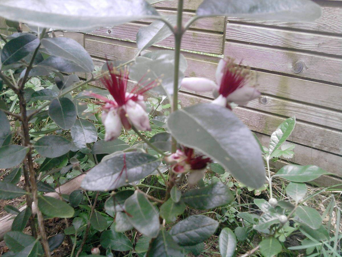 Feijoa Sellowiana 'Coolidge'