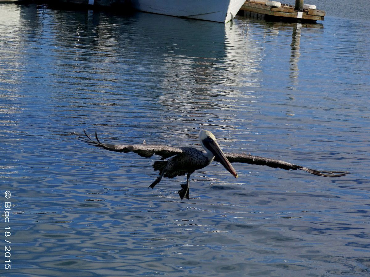 flying pelican on Shelter Island, San Diego (California)