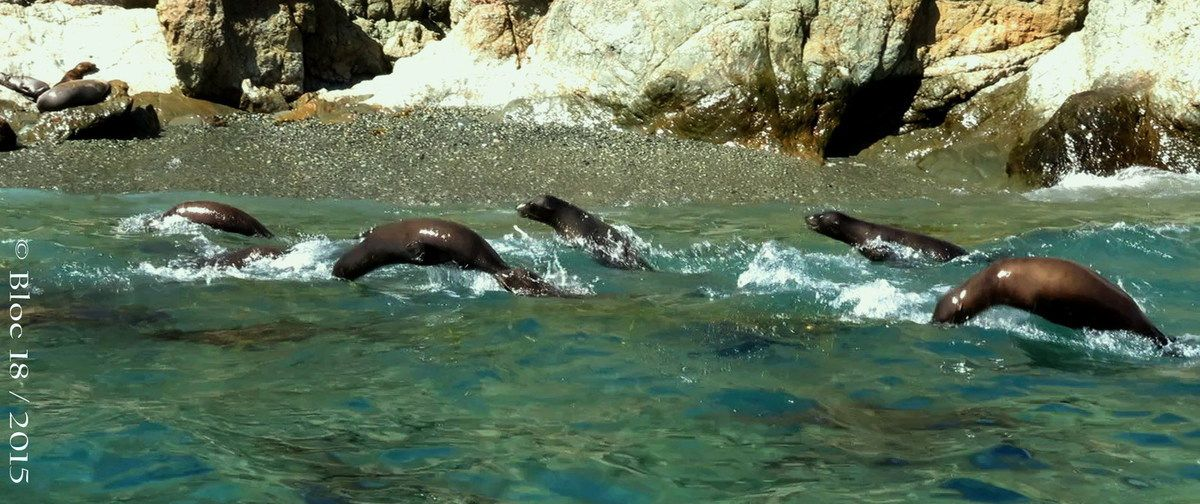 race of the sea lions, Cedros Island (Mexico)