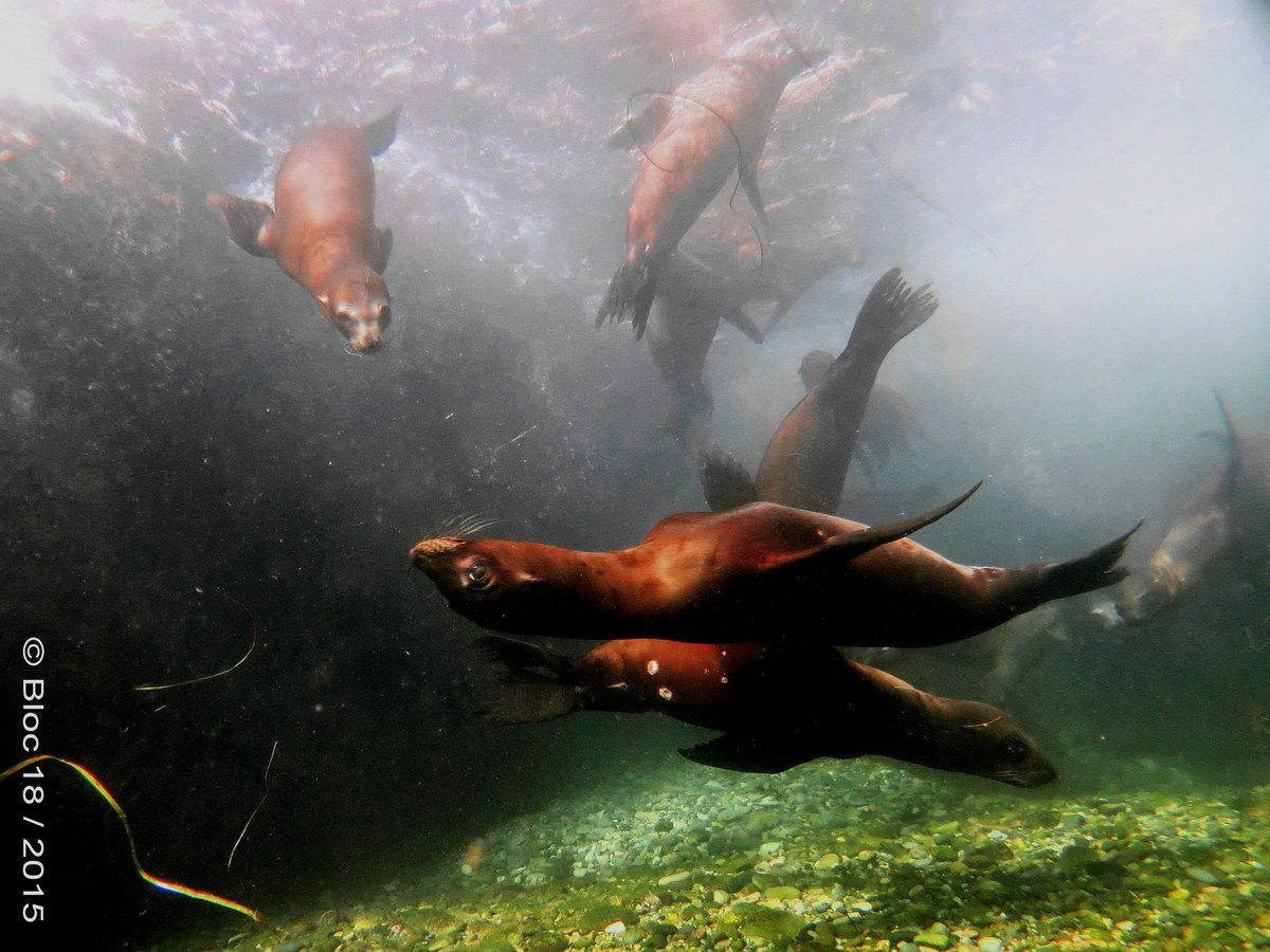 diving with the young sea lions, Cedros Island (Mexico)