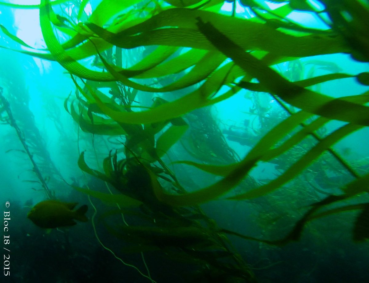 Lost in kelp forest !