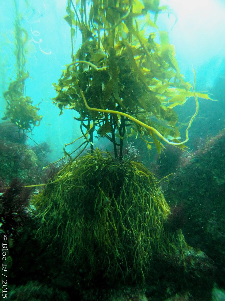 jumble of kelp
