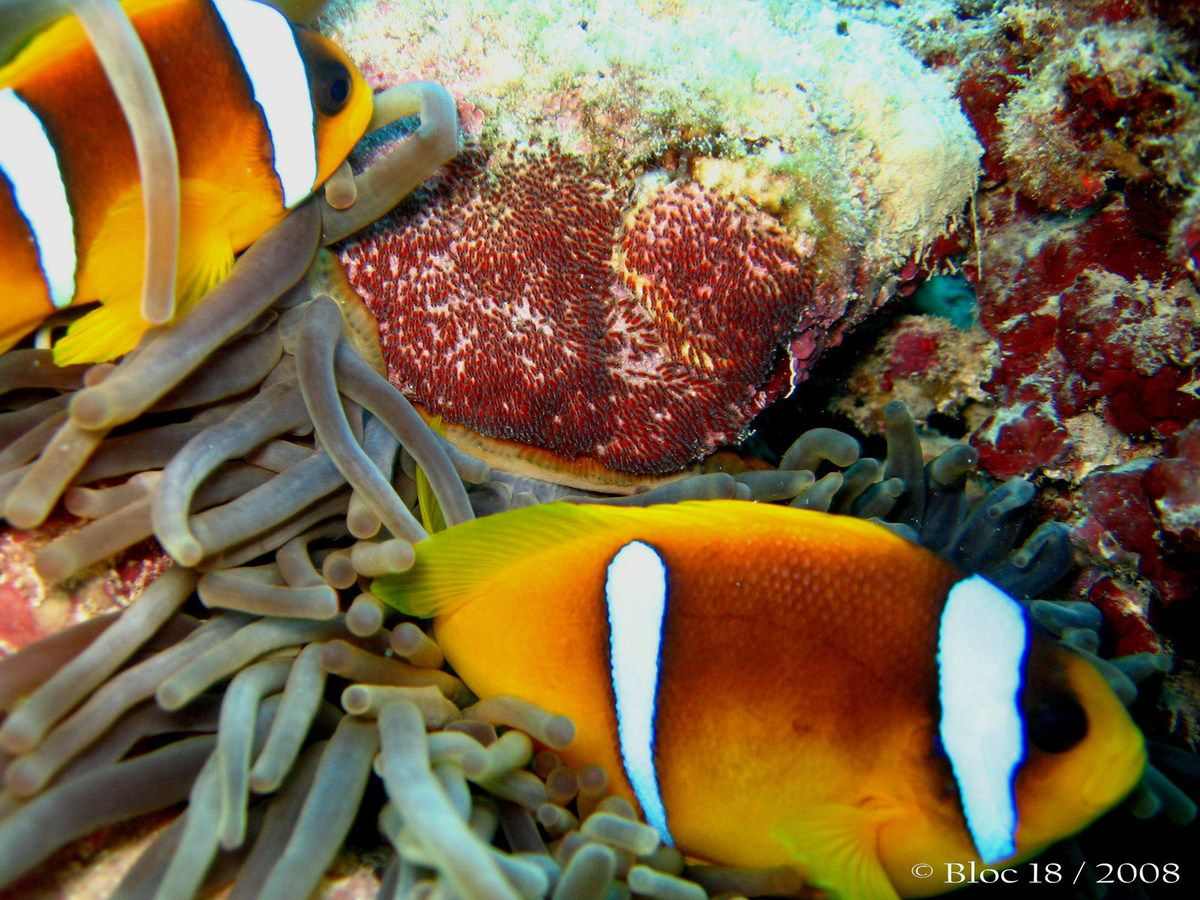 eggs of red sea clownfish (amphiprion bicinctus)