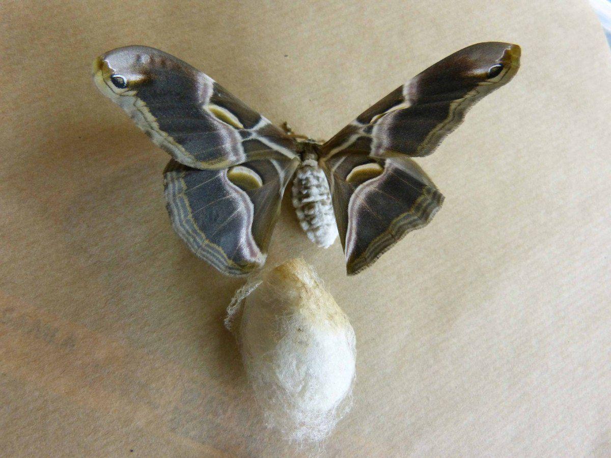 Après environ 25 jours, le papillon sort du cocon.