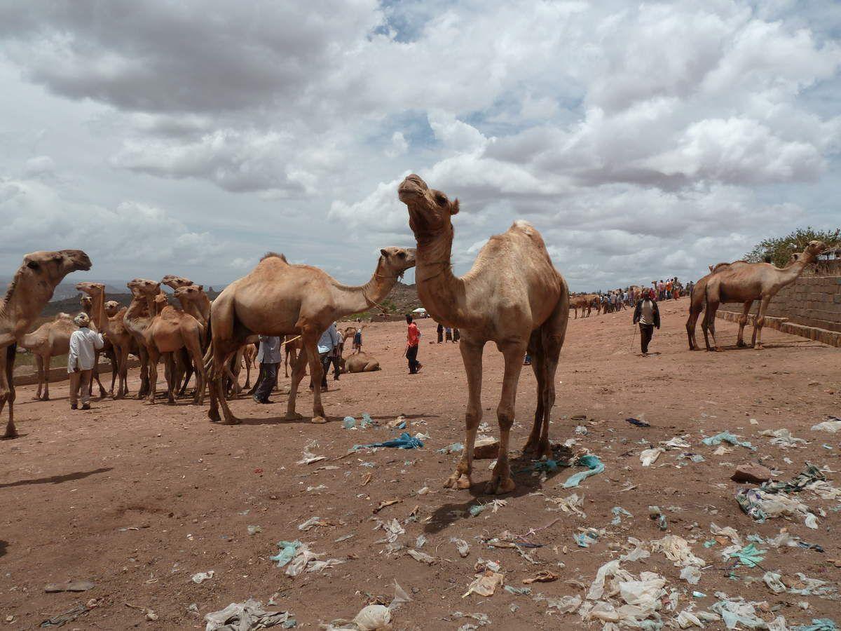 Marché des chameaux ...