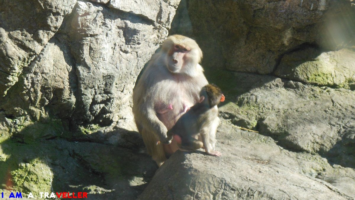 Baboon at Prospect Park Zoo