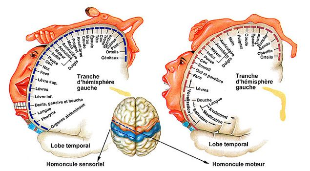 Correspondance entre zone cérébrale et atteinte de la motricité ou de la sensibilité (homoncule)