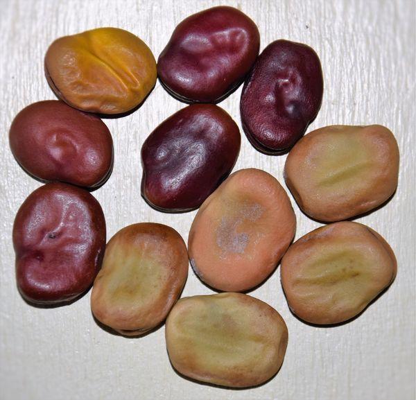 """feves : 5 red épicure, une jaune et cinq """"à graines violettes"""""""