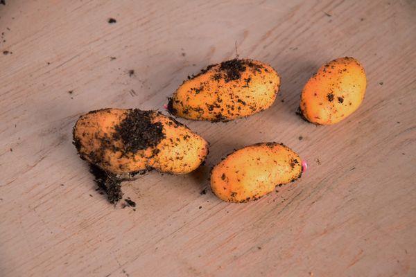 Ulluco ou ulluque ou papa lisa, variété yellow de incrediblevegetable