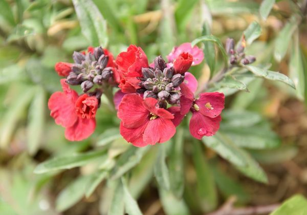 Erysimum linifolium 24 avril 2016