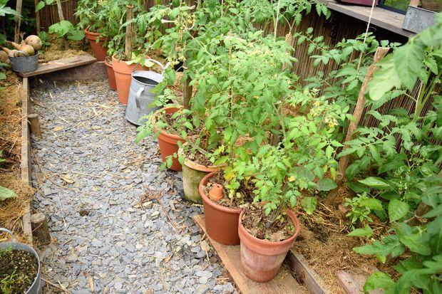 Tomates ditmarsher en pot