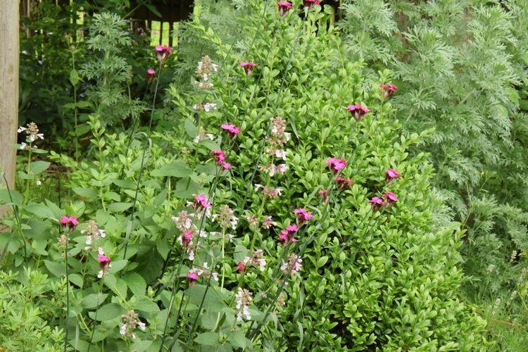 """Le nepeta grandifolia """"dawn to dusk"""" en compagnie d'oeillets des chartreux"""