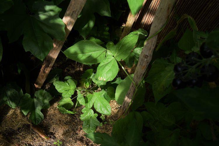 Le concombre Gherkin, après avoir stagné un certain temps commence à bien grandir