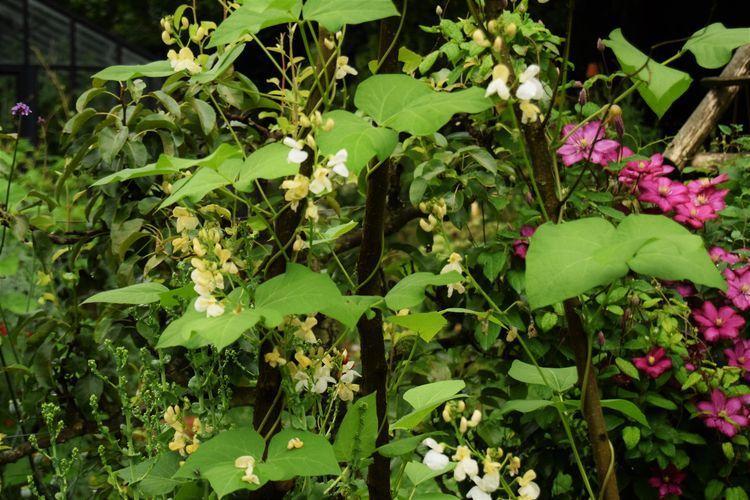 Haricots Orteils de Prêcheurs en fleurs
