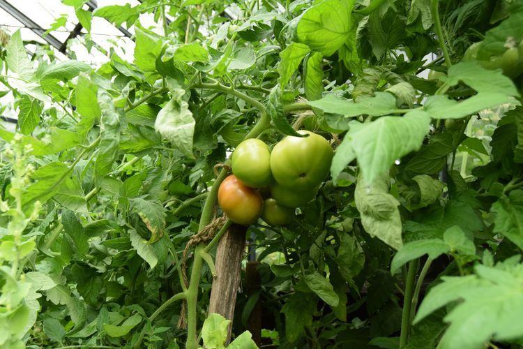 Dans la serre : une allure de jungle inextricable mais une belle production de tomates en préparation... si tout va bien.