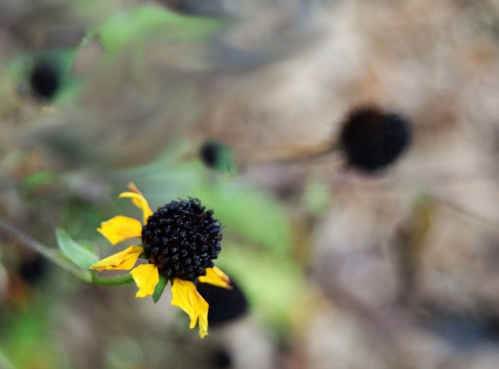 Et le pompon noir d'un rudbeckia défleuri.