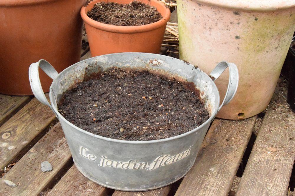 Semis de graines de chervis dans la serre... juste pour voir.