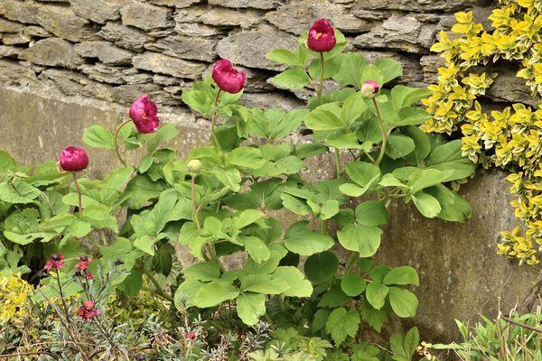 Enfin, belle surprise : notre pivoine botanique est la première à fleurir