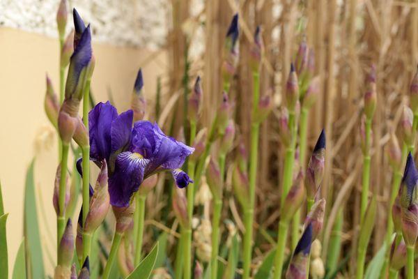 Devant la maison, en plein soleil et à l'abri, les premiers iris apparaissent.