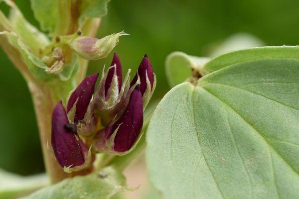 Et pour terminer une surprise : des fèves à fleurs pourpres présentent quelques boutons prometteurs