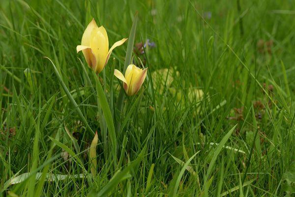 Dans la pelouse, quelques petites tulipes botaniques reviennent fidèlement chaque année malgré l'appétit des campagnols