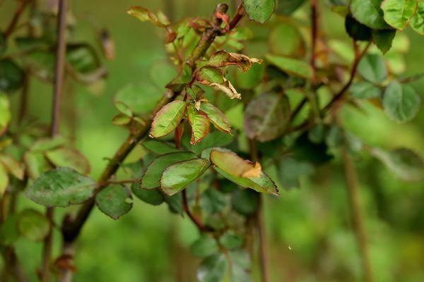 Quant aux rosiers, ils commençaient seulement à débourrer lors du gel ce qui a protégé leur feuillage à peine roussi sur les bords.