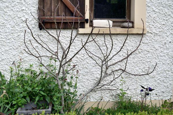 Plus une seule feuille sur le figuier : toutes les petites figues ont gelé. Je n'espère pas de récoltes cette année mais reprendra-t-il ? Patience !