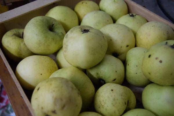De bonnes pommes d'août acidulées et parfumées : ce seront les seules pommes récoltées cette année au jardin.