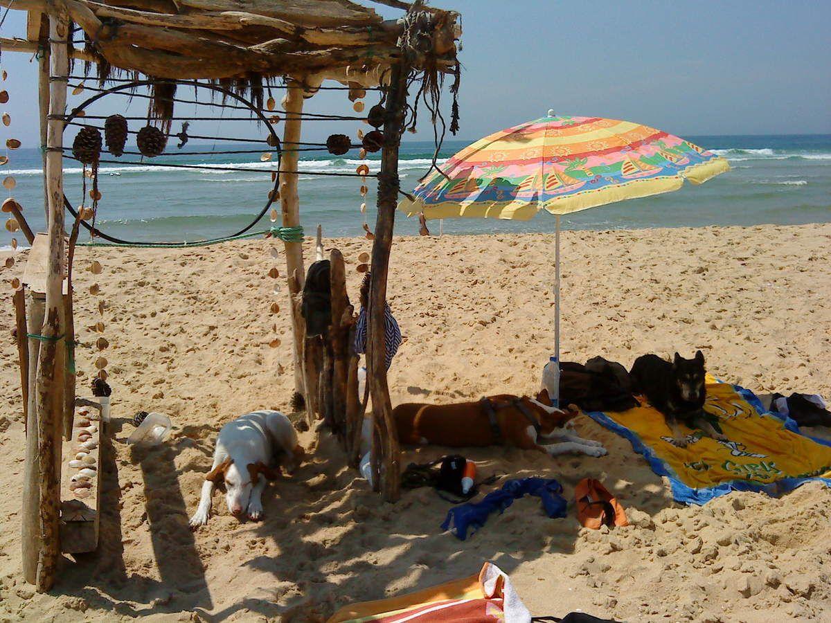 Podencos à la plage