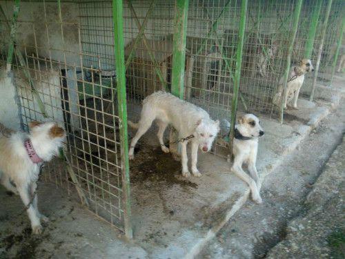 La réalité du podenco et des chiens de chasse en Espagne!